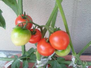 中玉トマト。